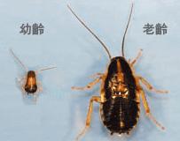 ゴキブリの赤ちゃん(幼虫)が出る7つの原因と、効果抜群な駆除法8選!